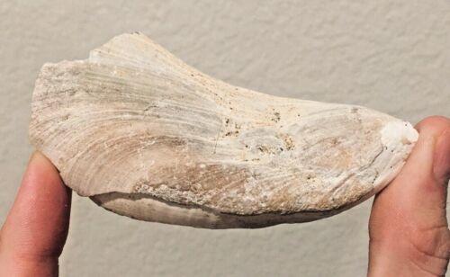 California Fossil Bivalve Mytilus coalingensis Pleistocene Mammoth Age Shell