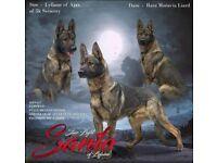 German Shepherd puppies kennel club registered