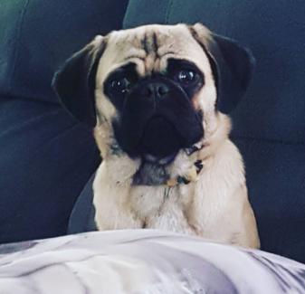 Beautiful 10mo pug girl