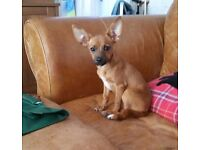 2 jack chi 5 month old puppies for sale