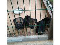 4 Adorable Border Terrier Puppies for sale