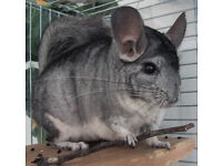 2 years old male chinchilla with cage