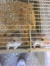 Baby dumbo fancy rats