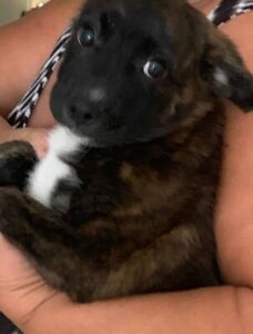 Pup-Staffy x Shepard 8 week old female.
