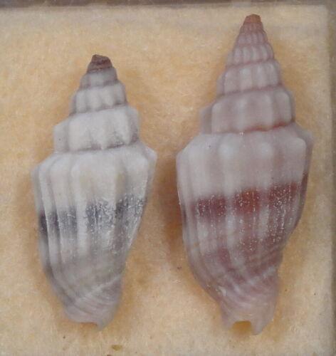 Mitra Vexillum Gruneri 2 Shells 20 + 24mm Southwest Pacific
