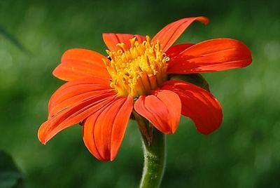 Sonnenblume 20 Samen (20 Samen Mexikanische Sonnenblume Tithonia rotundifolia)