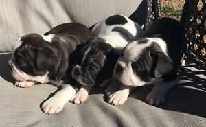 3/4 French Bulldog Puppys ALL SOLD...