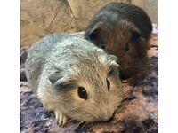 Beautiful Baby Female Silver & Choc Piggie Pair