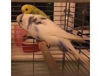 2 semi - tame budgies with cage