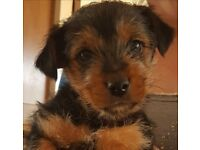 Jack russell x Yorkshire Terrier Puppy for sale