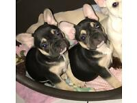 Black and Tan quad carrier French bulldog