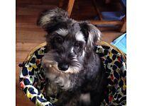 Miniature schnauzer puppy boy.
