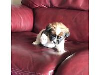 Jack Russell x Shih tzu puppies.