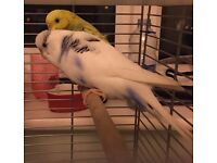 2 Semi-Tame Budgies with cage FOR SALE.