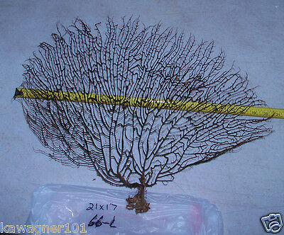 "21 X 17"" Black sea fan fish tank shell craft display wedding decor ITEM # 66-L"