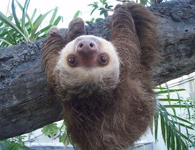 Sloth Hanging Out Glossy Poster Picture Photo Cute Funny Cool Tree Animal 2049