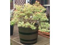 Stunning large pieris japonica silver flame in half oak barrel