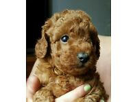 Red Toy Poodles PRA Clear