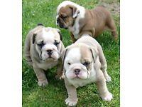 KC reg, Very Rare Sable Tri English Bulldog Puppies