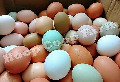 14 Colorful Hatching Eggs Olive Egger Marans Wyandotte Langshan Chicken