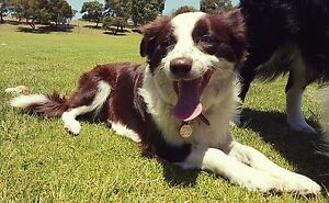 Pure bred Border Collie Blue-eyed, Chocolate and white South Lake Cockburn Area Preview