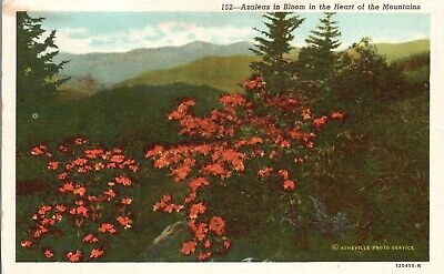 Vintage Postcard 1920's Azaleas in Bloom in the Heart of the Mountains