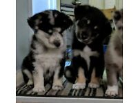 Husky Cross Puppies for sale, ready now.