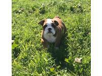 British Bulldog Puppy Female