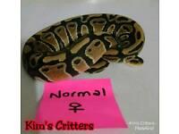 Normal Female Royal Python Hatchling