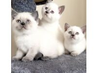 Female Lilac colourpoint british shorthair kitten