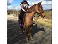 14hh chestnut mare for sale