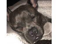 1 year old french bulldog x pug