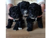 Poochon Puppies Black and White Hull