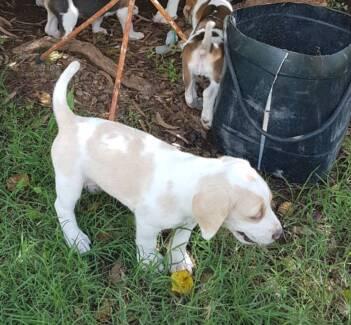 Puppy In Taroom 4420 Qld Dogs Puppies Gumtree Australia Free