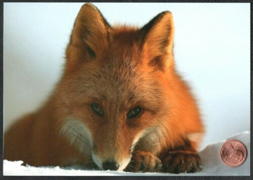 Christmas Red Fox  Sweet Faced Posing Snow -  Christmas Greeting Card  NEW