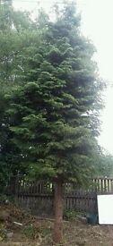 FREE Chamaecyparis lawsoniana around 6 mitres long