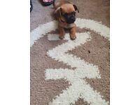 Full miniature jack Russell puppies