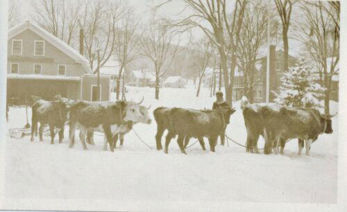 c1918 RPPC  7 or 8 Bulls Cattle Yoked Together in Snowstorm Real Photo Postcard