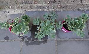3 pots of Aeonium Cylops Succulents Shelley Canning Area Preview