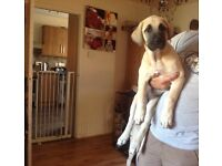 Turkish Kangal puppies