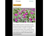 11 x Rose Campion Plants Magenta Pink Stunning Perennial Hardy(FREE Postage)