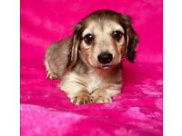 Gorgeous Long Hair Miniature Dachshund Puppies