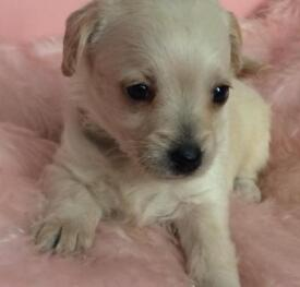 Chihuahua x Min. Poodle for sale