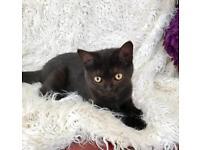 Extremely friendly British Shorthair kittens