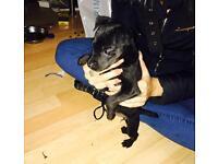 Lakeland terrier x Patterdale puppy