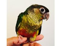 Fully HandReared SillyTamed Baby Yellowsided Conure Parrot