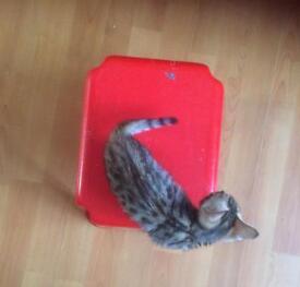 Pure bengal kitten boy