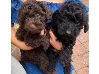 Toy poodle last one !!!!