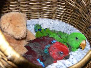 Eclectus Babies Handraised Perth Perth City Area Preview