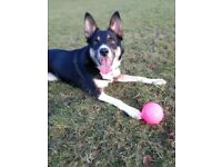 Collie x girl 3 yrs , great with kids and loves walking and playing fetch with her ball